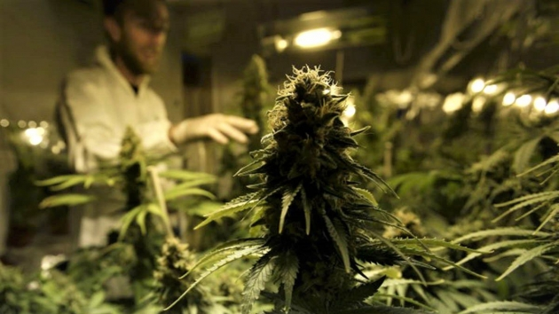 El Ministerio de Salud de la Nación aprobó un proyecto de cultivo de cannabis con fines científicos en Río Negro