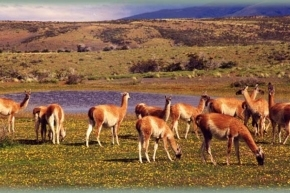 ¿Especie protegida?: Fuertes cuestionamientos a la decisión de habilitar la caza del guanaco