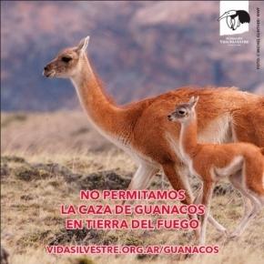 La Fundación Vida Silvestre lanzó una campaña para derogar la ley que habilita caza de guanacos