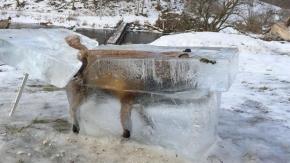 La impresionante imagen de un zorro congelado dentro de un bloque de hielo en el Danubio