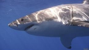 Tiburón muerde a nadador en una playa de California