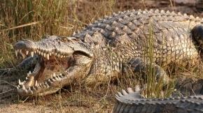Un hombre que violó la cuarentena fue devorado por un cocodrilo
